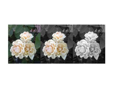 whiteroses3versions