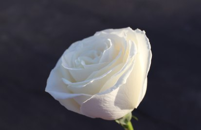 whiteroseblurrcrop