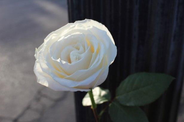 whiterosepost