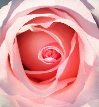 5 pinkrose2new