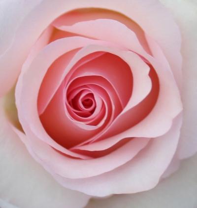 6 pinkrosebe
