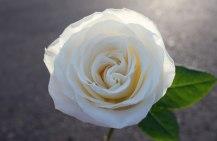 7 whiteroseleaves