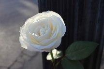 8 whiterosepost