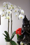 1orchid-buddha