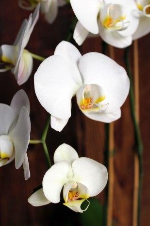 brown1littleorchid