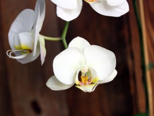 brown2orchid-close-up