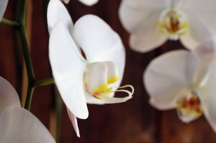 brown3orchid-very-close-up