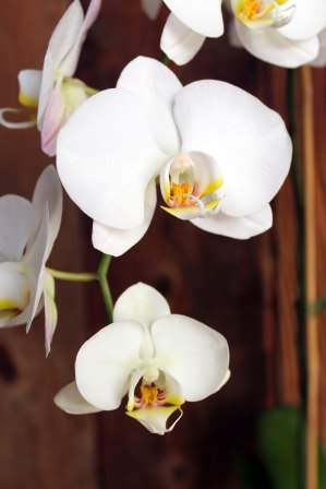 brown4orchidlastpic