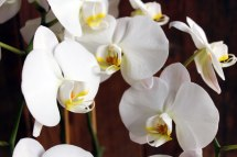 brown6White-Orchids2