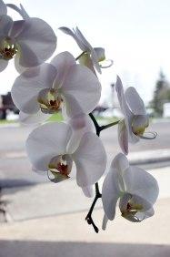 orchid-seethrough
