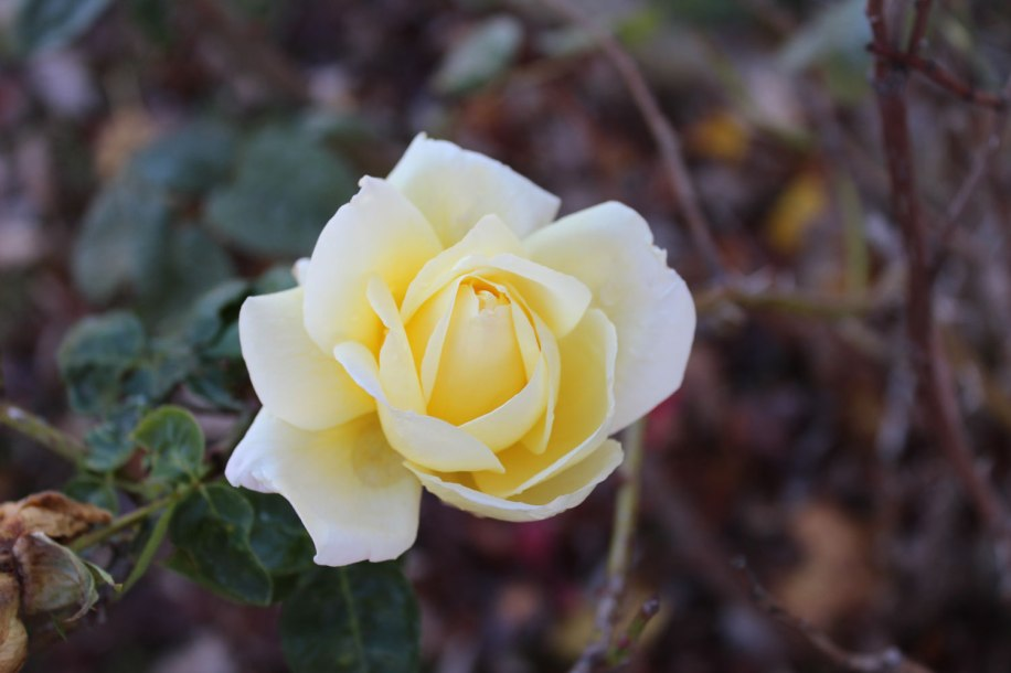 originalyellowrose