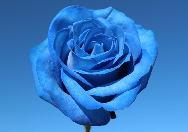 bluerosebluesky