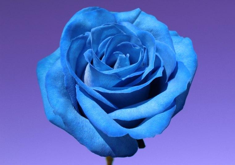 bluerosepurplesky