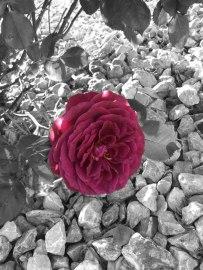 rosecolorsplash